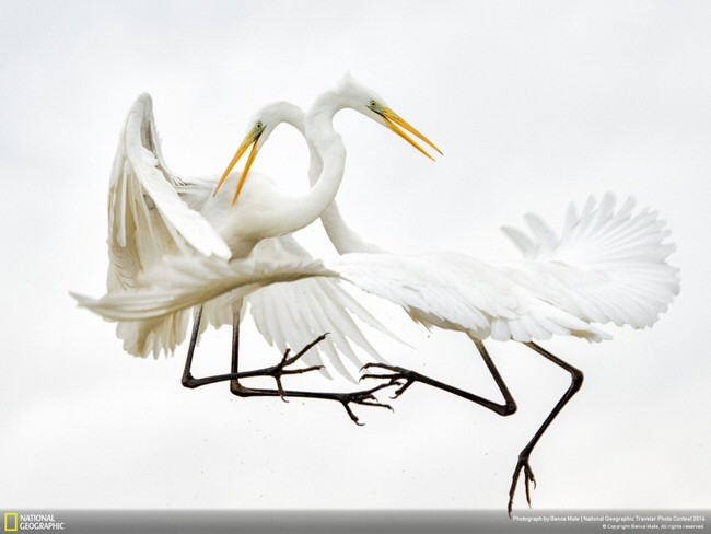 Great-white Egrets