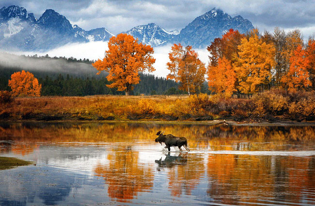 Moose in Snake River