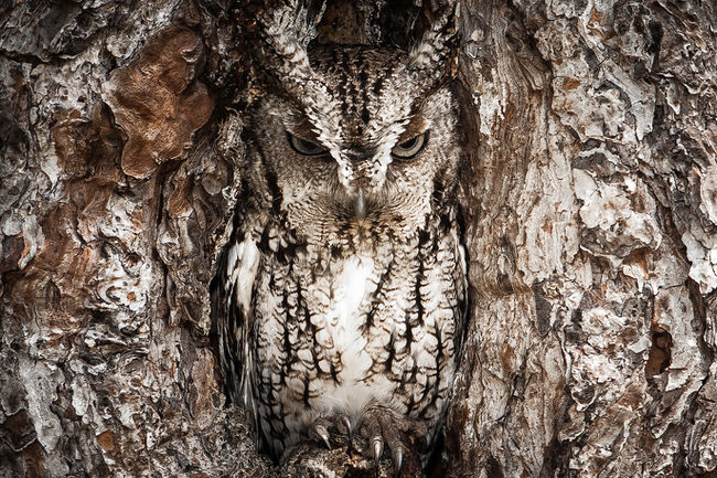 beautiful images - Eastern Screech Owl