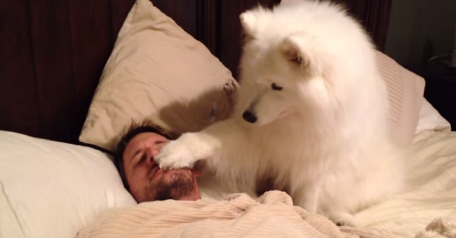 cute-samoyed-dog-gently-wakes-up-owner-video-cover