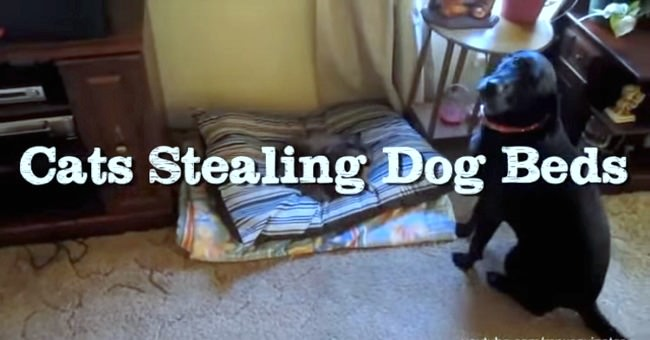 cats-stealing-dog-beds-compilation-cover