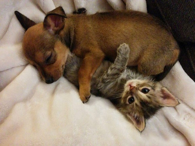 abandoned chihuahua puppy and stray kitten become the