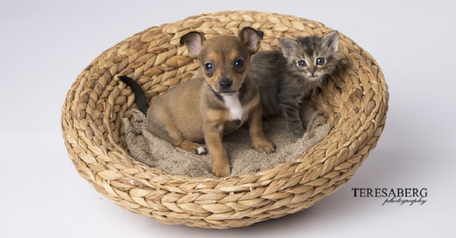 chihuahua-puppy-and-kitten-best-friends-fb