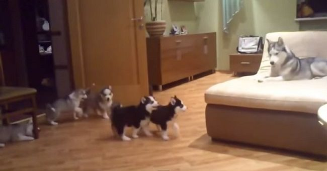 husky-mom-plays-with-7-puppies-video-cover