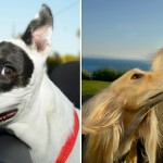 Photographer Captures The Enjoyment of Car-Loving Dogs