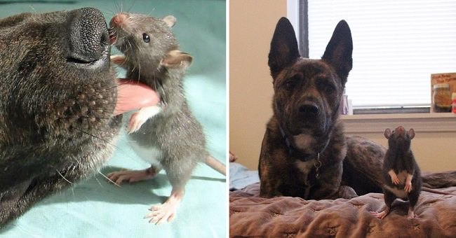 dog-and-rat-cute-friends-cover