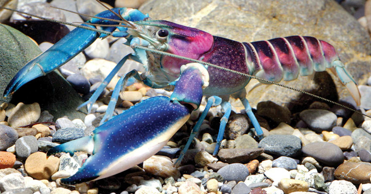 This Beautiful Blue And Purple Crayfish Was Just ...