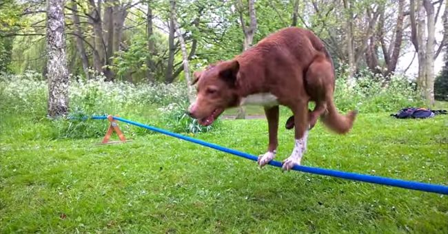 dog-performs-handstand-on-rope-trick-cover