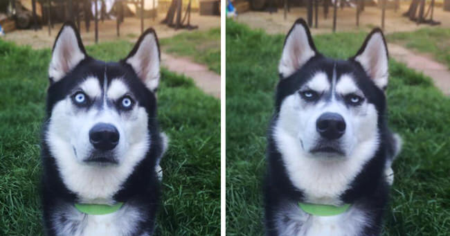 siberian-husky-tricked-facial-expression-cover