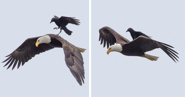 crow-lands-on-the-back-of-an-eagle-mid-flight-in-incredible-photos-phoo-chan-cover