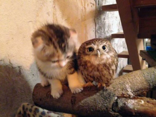 Kitten And Baby Owl End Up As Best Friends And Nap Buddies