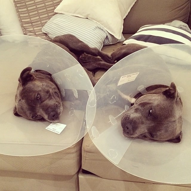 These Two Pit Bull Brothers Will Bring A Smile To Your Face
