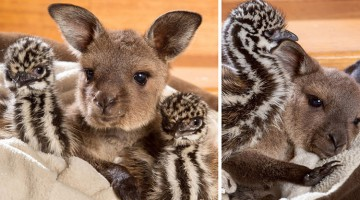 Baby Kangaroo And Two Emu Chicks Instantly Connect And Become Cute Friends