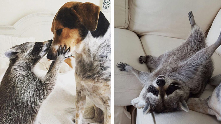 Family With Dogs Rescues Baby Raccoon… Now She Thinks She's A Dog