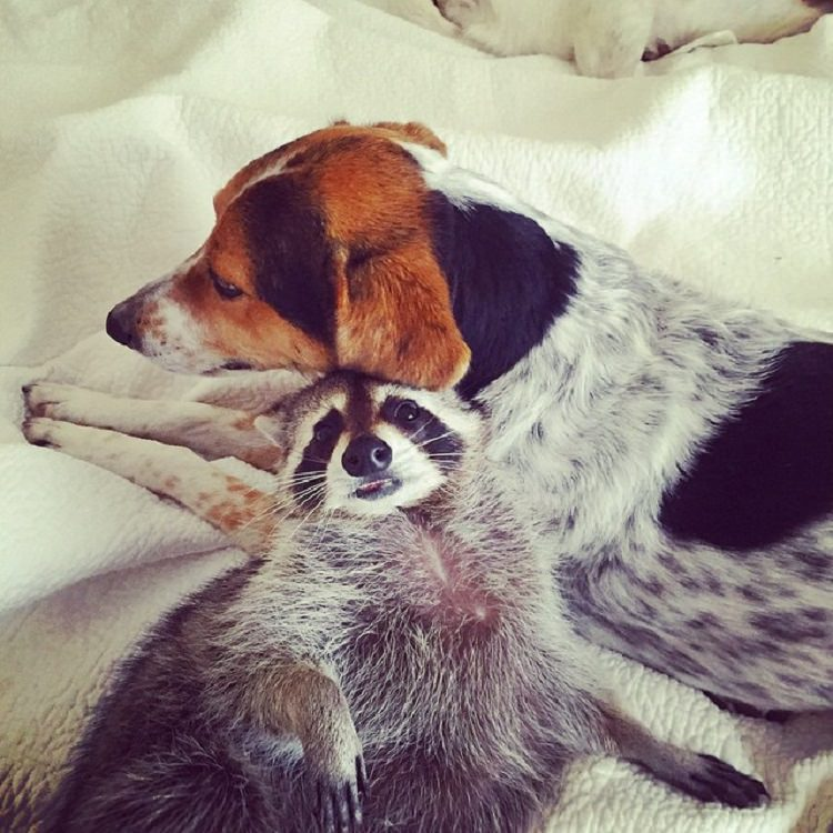 Rescued Baby Raccoon Thinks Shes A Dog Top - Pumpkin rescued raccoon