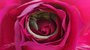 This Adorable Lizard Found The Perfect Bed… A Beautiful Rose