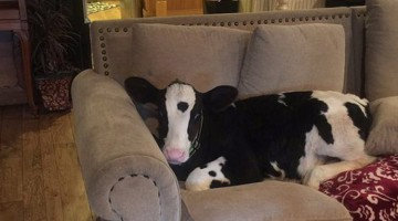 Adorable Baby Cow Thinks He's A Dog