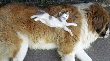 23 Cats Using Dogs As Pillows
