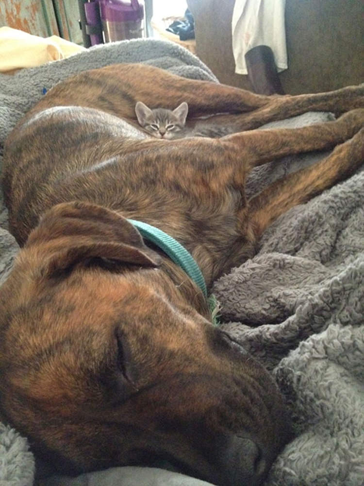 23 Cats Using Dogs As Pillows Top13