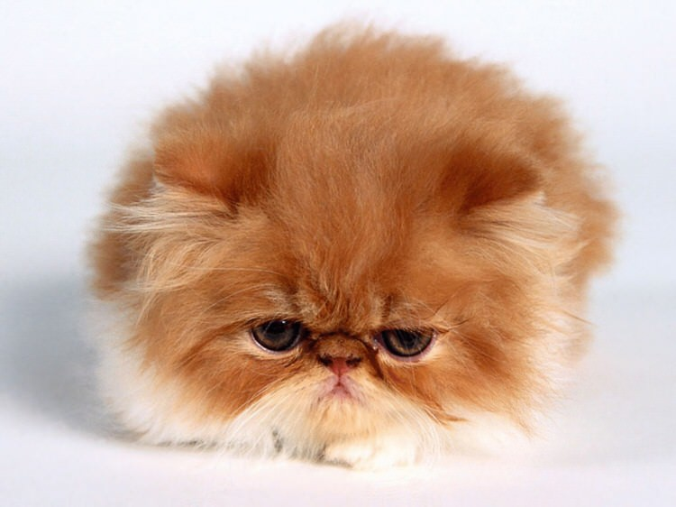 Of The Fluffiest Cats On The Planet Top - 25 of the fluffiest cats ever