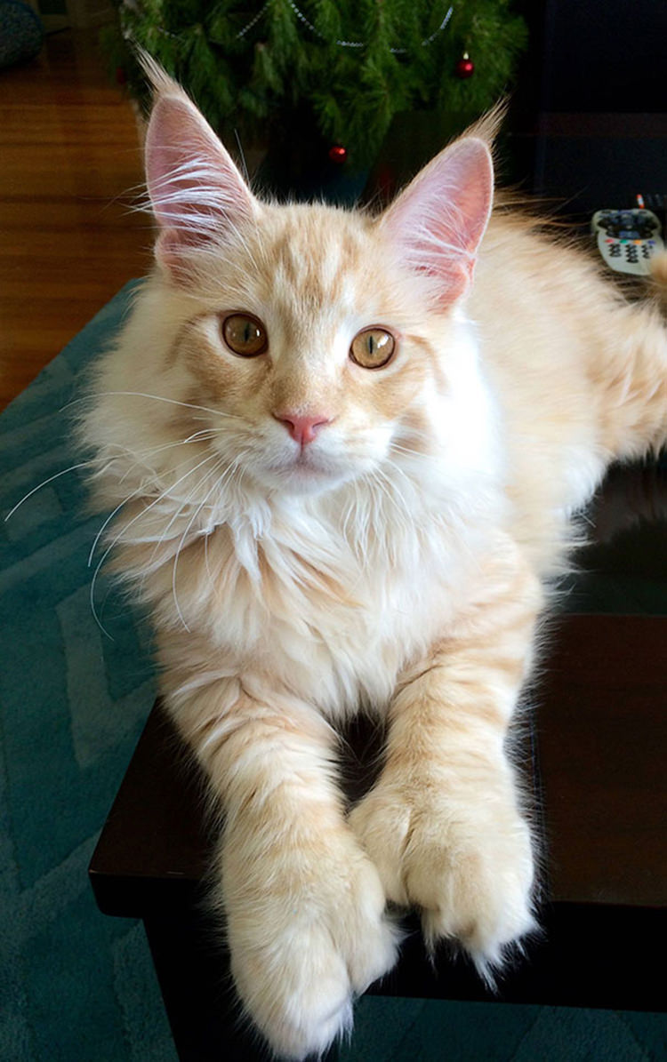 Huge Maine Coon Cats For Sale