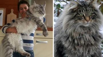 interesting biggest house cat in the world a guy holding big