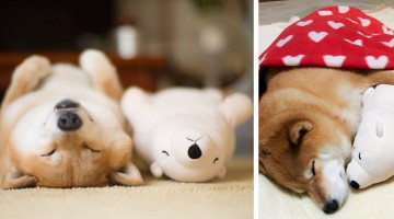 Adorable Shiba Inu Always Falls Asleep in Same Position As His Favorite Stuffed Animal