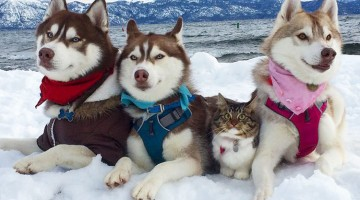Cat Becomes Best Friends With 3 Huskies That Saved It From Dying