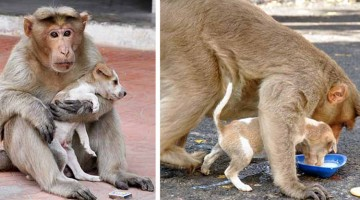 Monkey Adopts Puppy, Feeds It And Defends It From Stray Dogs
