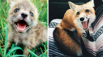 Adorable Pet Fox Can't Stop Smiling