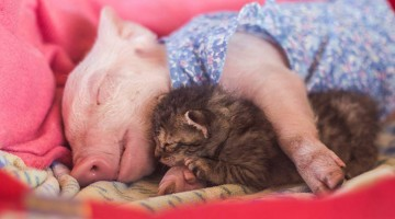 Rescued Kitten And Piglet Are Becoming The Cutest Friends In Chilean Animal Sanctuary