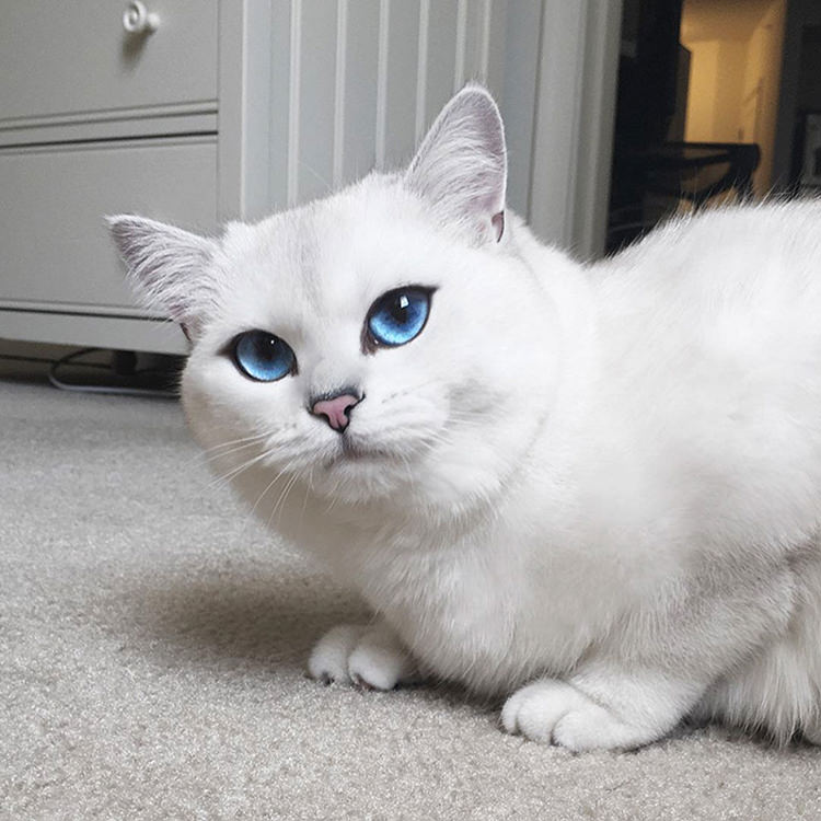 Adorable White Cat With Blue Eyes | Top13