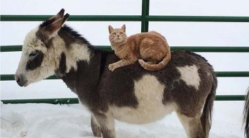 Cat Makes Farm Animals Carry Him Around VIP Style