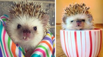 Rescued 'Vampire' Hedgehog Becomes Instagram Famous
