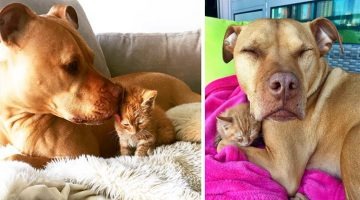 Adorable Rescued Pit Bull Adopts A Kitty As His Own Daughter