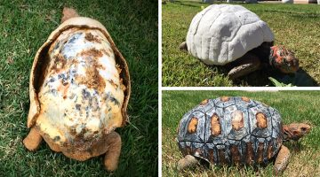 Rescued Tortoise Gets The World's First 3D Printed Shell