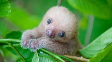 The Sloth Institute In Costa Rica Looks After Abandoned Baby Sloths