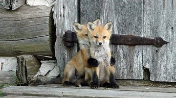 21 Pictures Of Baby Foxes That Are Too Adorable