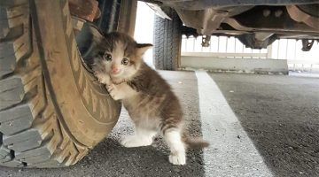 A Man Found A Scared Kitty Under A Truck And Couldn't Resist To Take Her Home