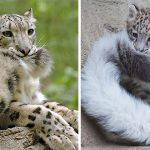 12 Pics Of Snow Leopards Biting Their Own Tails