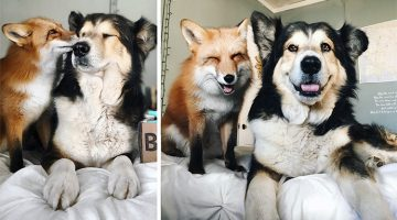 Rescue Pet Fox And Dog Become Best Friends