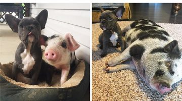 Rescue Piglet Becomes Best Friends With A French Bulldog