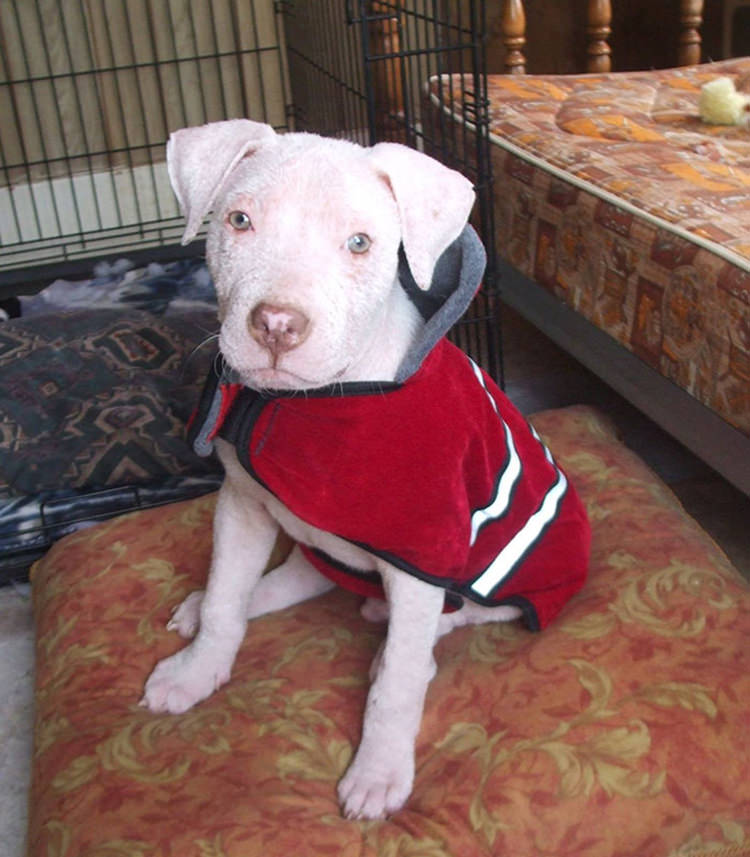 pit bull-rescued-adopted-5