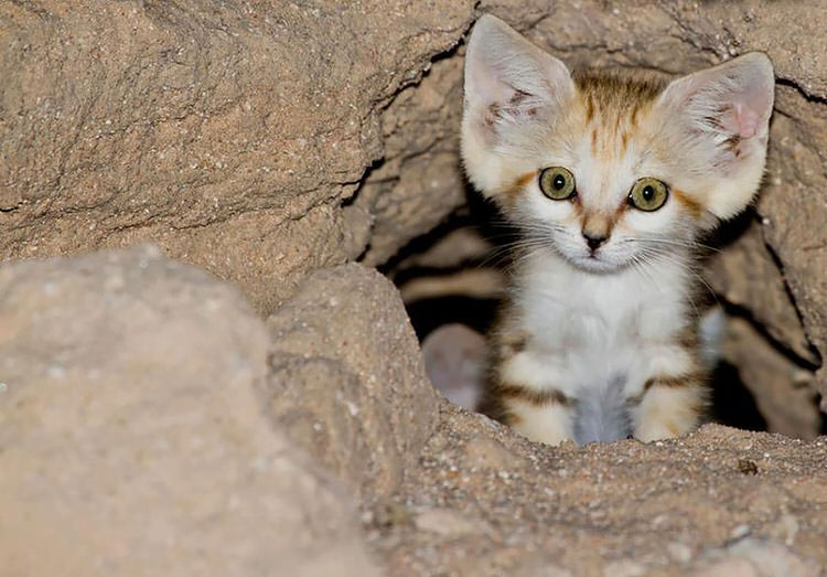 sand cats the wild cats that look like kittens their whole life top13