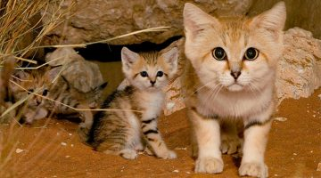 Sand Cats: The Wild Cats That Look Like Kittens Their Whole Life