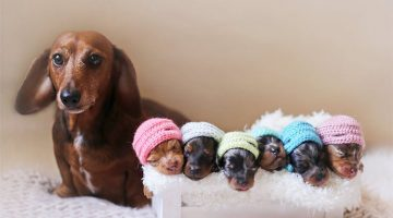 Proud Sausage Dog Poses With Her Six Adorable Sausage Puppies