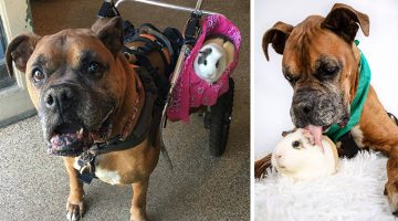 Senior Boxer Welcomes Guinea Pig Into His Life And They Become Best Friends