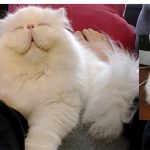 Rescued Persian Cat Is All Smiles Since Finding A Loving Home