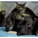 Pit Bull Rescued From Dog Fighting Spends His Days Snuggling Kittens