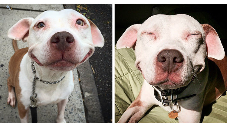 This Pit Bull Is Still Smiling After 12 Years Of Being Rescued